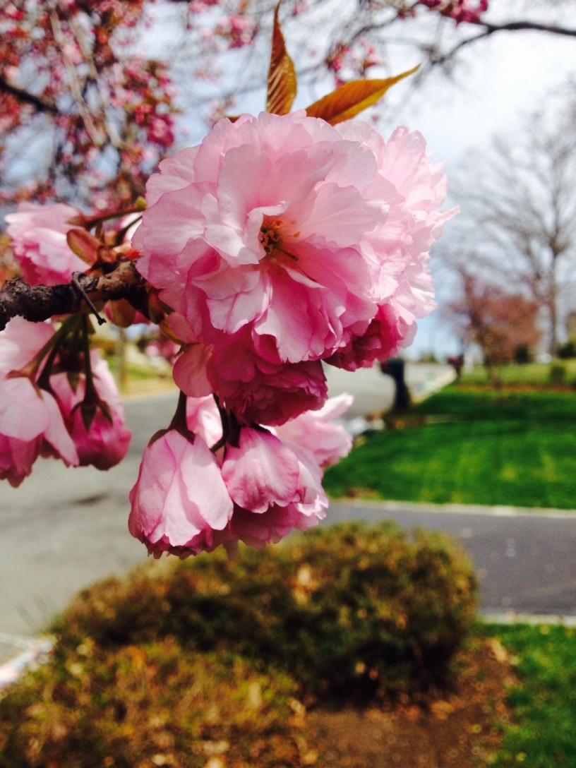 Cherry blossom Vienna VA street tree