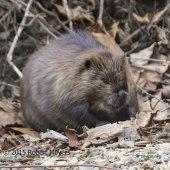 Beaver Vienna VA